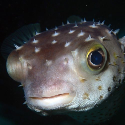 puffer fish at night